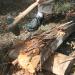 Replica axe demo at Gila River Farms