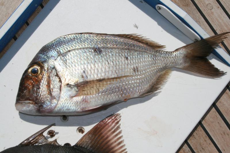 Puerto Refugio Pacific porgy  7-9-2009
