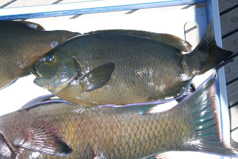 CA opaleye and hogfish  Ensenada de Alacran 6-24-2009