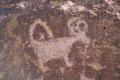 Long-tail bighorn sheep