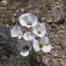 Mariposa lilies - photo by K.Meredith
